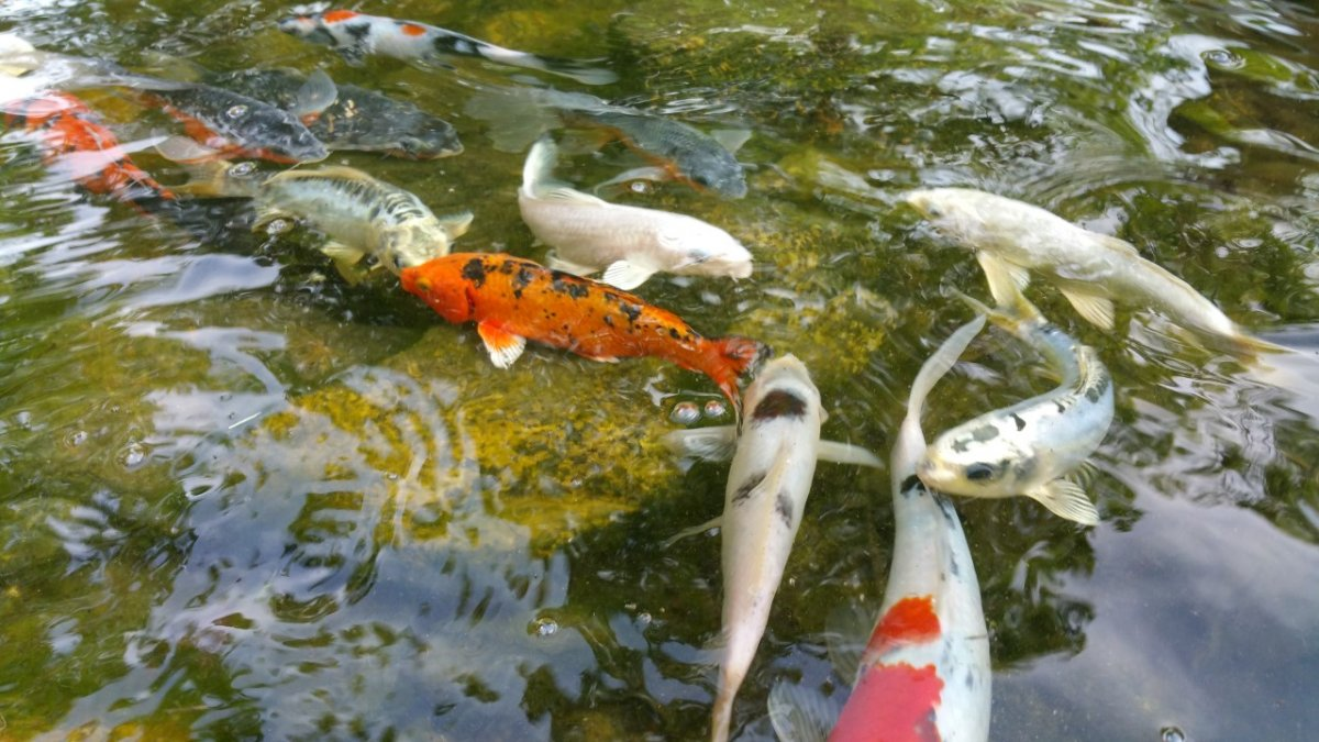Creative Garden Spaces Inc, japanese koi, koi pond